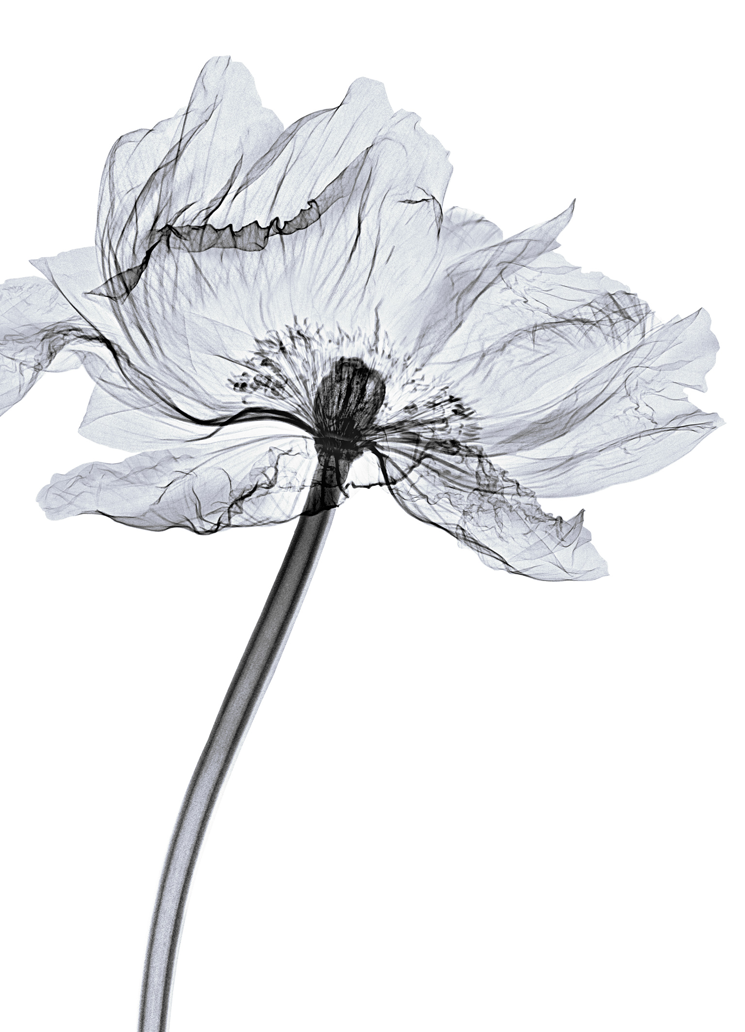 x rayed flower 08